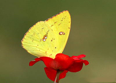 Poster featuring the photograph Petals And Wings by Sheila Brown