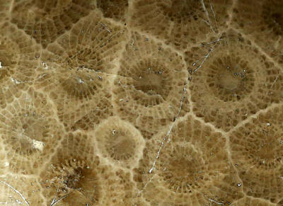 Petoskey Stone 3 Poster by Mary Bedy
