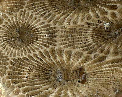 Petoskey Stone 4 Poster by Mary Bedy