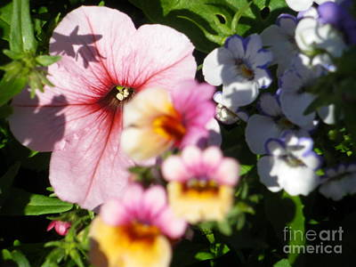 Petunia And Nemesia At Sunset Poster
