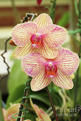 Phalaenopsis Moth Orchids #2 Poster