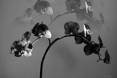 Phalaenopsis Orchcid In Black And White Refracted Poster