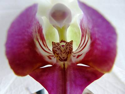 Phalaenopsis Orchid Detail Poster by Valerie Ornstein