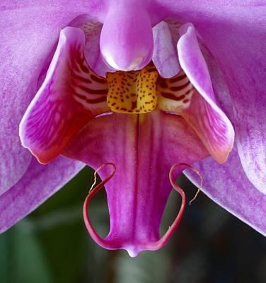 Phalenopsis Closeup Poster by Pedro Vit