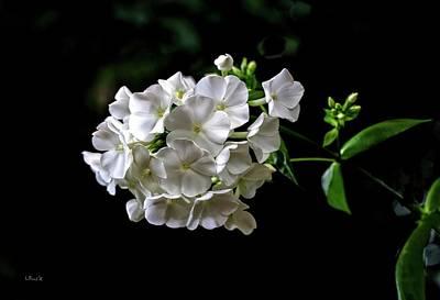 Phlox Flowers Poster