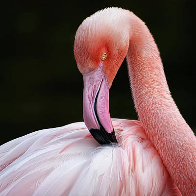 Phoenicopterus Poster by QuimGranell