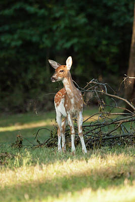 Piebald Whitetail Deer Fawn Poster by Erin Cadigan