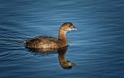 Poster featuring the photograph Pied Billed Grebe by Randy Hall