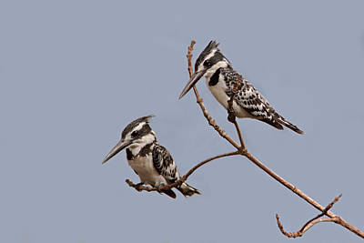 Pied Kingfisher Pair Poster