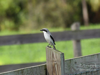 Pigeon-toed Shrike Poster