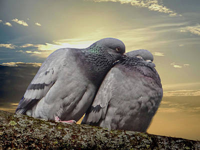 Pigeons In Love, Smooching On A Branch At Sunset Poster