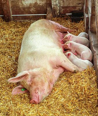Piglet Feeding Time Poster