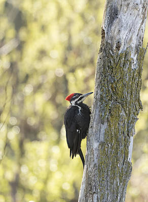 Pileated Woodpecker 2014-1 Poster by Thomas Young