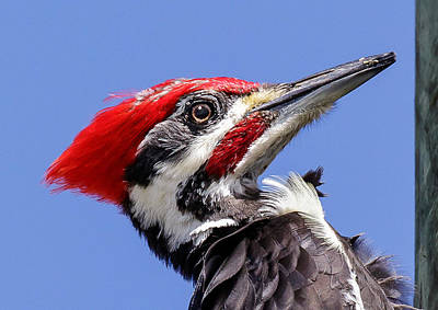 Pileated Woodpecker Headshot Poster by Phil Stone