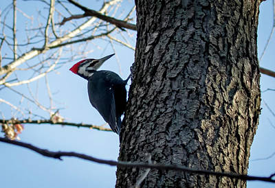 Poster featuring the photograph Pileated Woodpecker  by Ricky L Jones