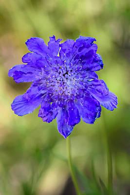 Pincushion Flower Poster