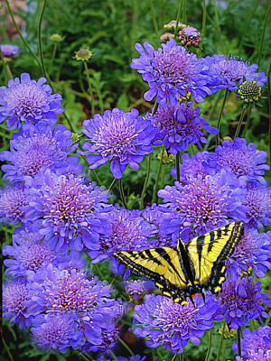 Pincushion Flowert With Tiger Swallowtail Poster