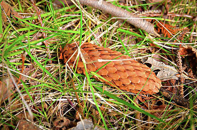 Pine Cone In Grass Poster