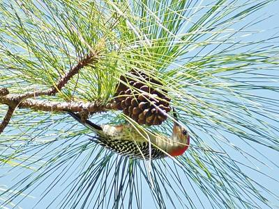 Pine Cone Pecking Poster