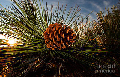 Pine Cone Poster by Terry Elniski