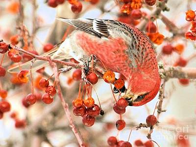 Pine Grosbeak Poster by Debbie Stahre