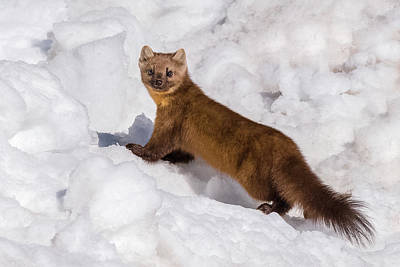 Pine Marten In Snow Poster by Yeates Photography