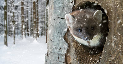 Pine Marten In Tree In Winter Poster
