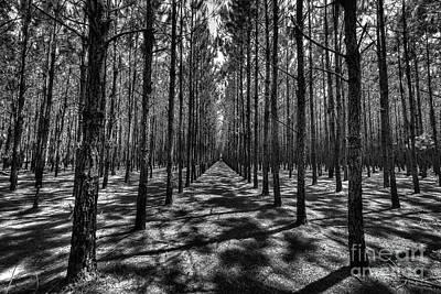 Pine Plantation Wide Poster
