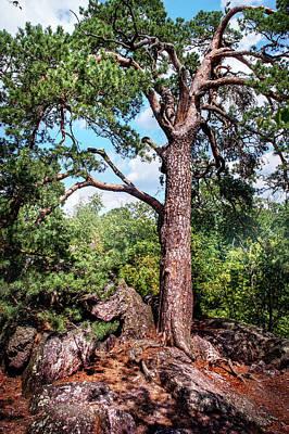 Pine Tree On Rocks Poster by Jenny Rainbow