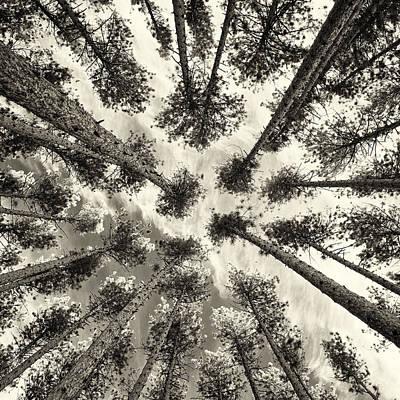 Pine Tree Vertigo - Square Sepia Poster