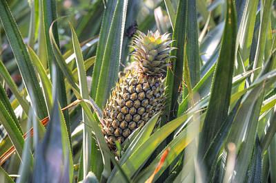 pineapple plantation in Kerala - India Poster
