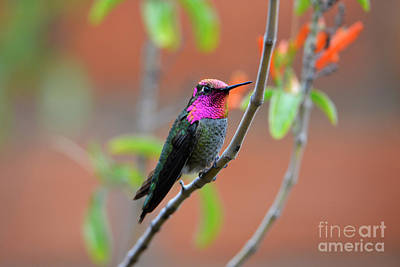 Pink And Gold Anna's Hummingbird Poster