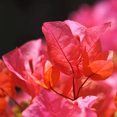 Pink And Orange Bougainvillea Poster