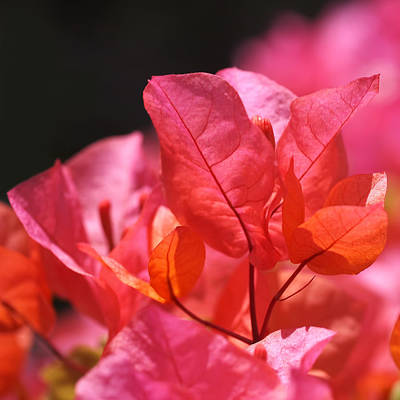 Pink And Orange Bougainvillea - Square Poster by Rona Black
