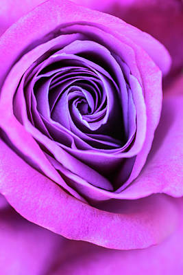 Pink And Purple Rose Spiral Poster by Vishwanath Bhat