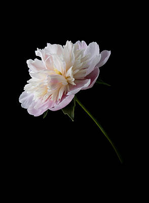 Pink And White Peony Poster by Patti Deters