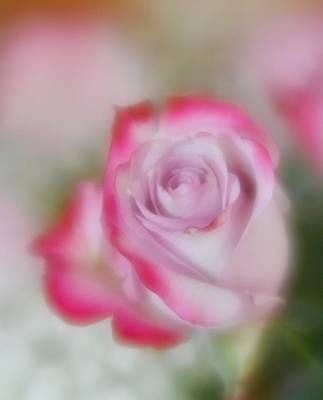 Poster featuring the photograph Pink And White Rose  by Diane Alexander