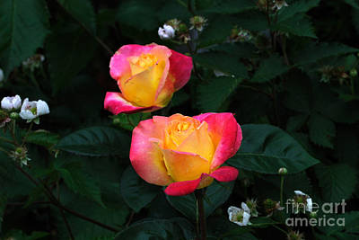 Pink And Yellow Rose With Raspberrys Poster