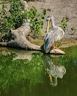 Pink-backed Pelican - Reflection Poster