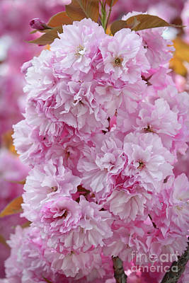 Pink Blossoms Cluster Poster by Carol Groenen
