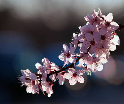 Pink Blossoms Poster by Don Gradner