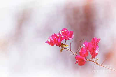Pink Bougainvillea Flowers In Sunlight Poster by Jane Rix