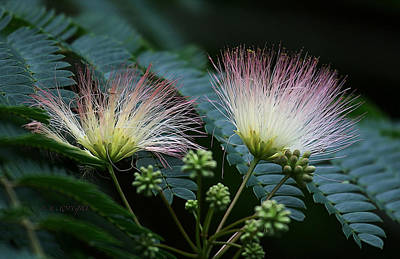 Pink Mimosa  Poster by Yvonne Wright