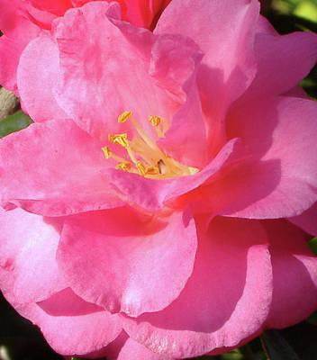 Pink Camelia Poster