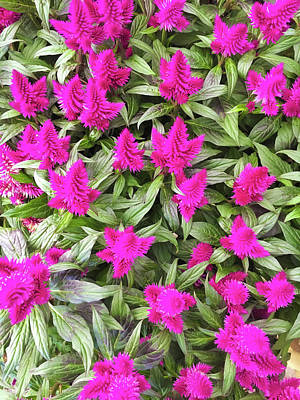 Pink Celosia Flowers Poster by Tom Gowanlock
