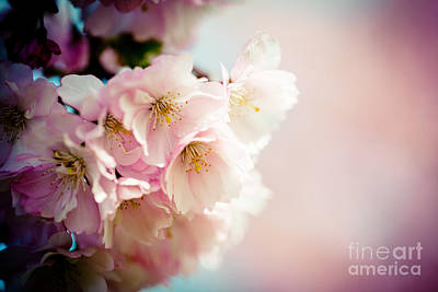 Pink Cherry Blossoms Closeup Poster by Raimond Klavins