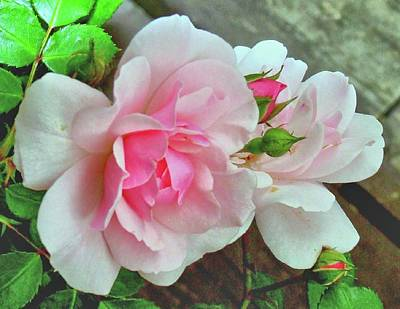 Poster featuring the photograph Pink Cluster Of Roses by Janette Boyd