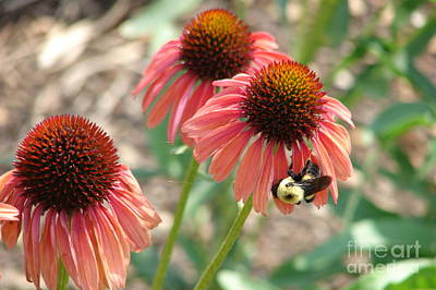 Pink Cone Daisies Poster by Cathy Mounts