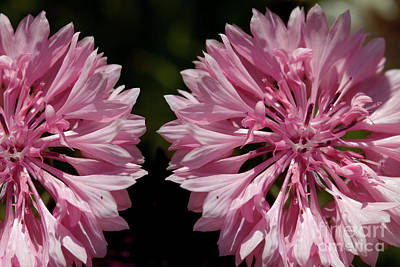 Pink Cornflowers Poster
