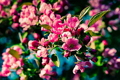 Poster featuring the photograph Pink Crab Apple Flowers by Alexander Senin